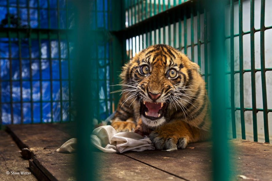 A-Sumatran-tiger-cub-in-a-cage